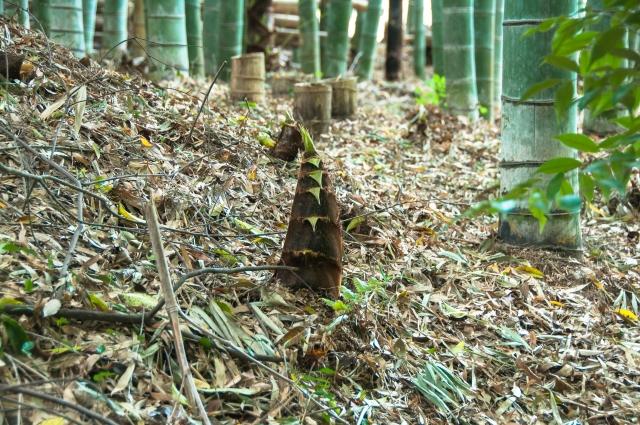 0640-0425竹の子 (1).jpg